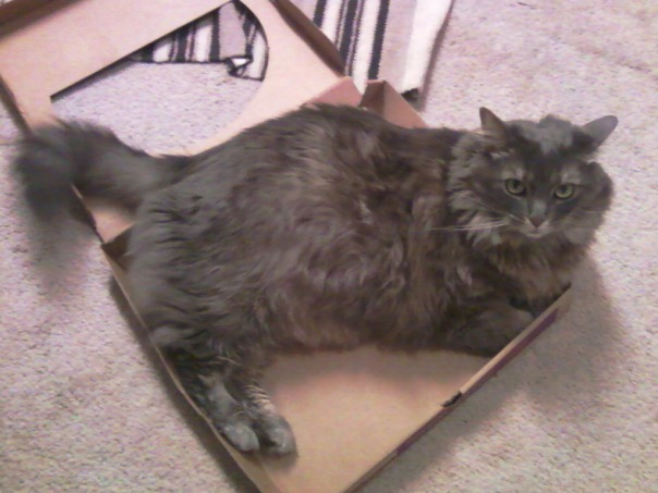 pizza box cat