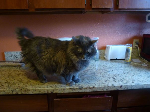 cat on the counter 4